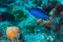 BD-101208-Cozumel-2859-Chromis-cyanea-(Poey.-1860)-[Blue-chromis].jpg